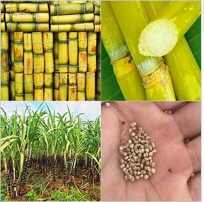 Saccharum Sugar Cane Seeds RUM * SYRUP * ROCK CANDY 50Pcs Vegetable And Fruits