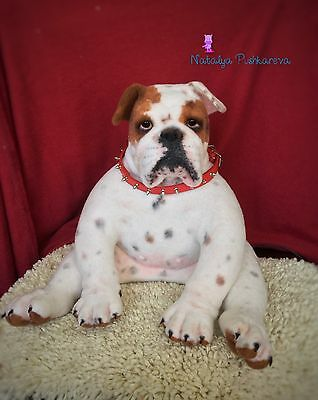 💕OOAK Needle felted English bulldog dog 16in sculpture collection 💕