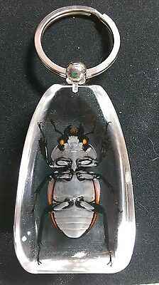 Real brown beetle bug insect inside resin keychain