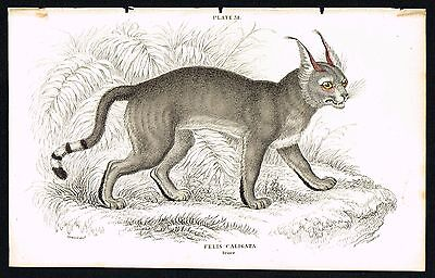 1834 African Wild Cat, Booted Lynx, Hand-Colored Antique Engraving - Jardine