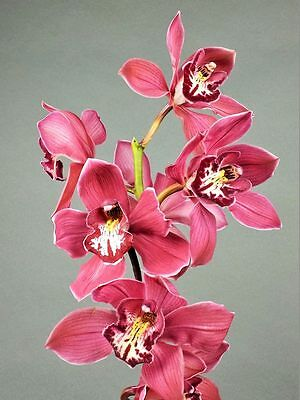 fragrant, Cymbidium superpink, orchid plant,