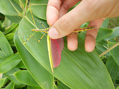 Necroscia annulipes (Yellow Flying Stick Insect) adult trio, 2x female 1x male