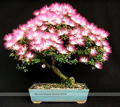 Bonsai Tree Albizia Julibrissin Seeds Rare Flowers Seed In Bonsai Pink Tree Home