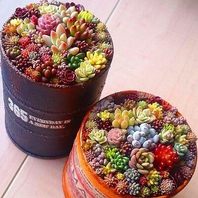 Rare Succulent Seeds Mini Flower Seed Mix Lithops Seeds Bonsai Mini Garden Plant