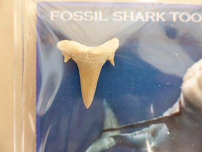 megalodon fossil shark tooth(granfather era) from Morocco.