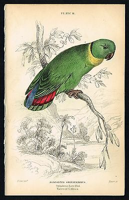1836 Antique Print - Black-collared lovebird Parrot, Hand-Colored Engraving