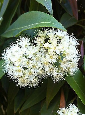 """Lemon Myrtle"" Backhousia Citriadora Bush Tucker Medicine Oils (25 seeds)"