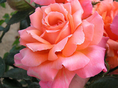 HEART OF GOLD - 4lt Potted Hybrid Tea Garden Bush Rose - Peach Scented Flowers