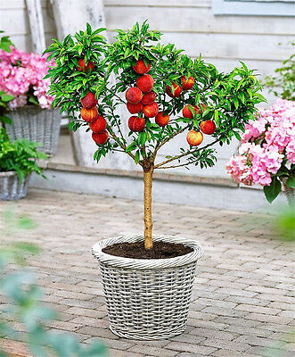 Peach Tree Seeds Sweet Peach Seeds Bonsai Fruit Seed For Home Garden Plants Mini