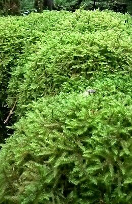 Sphagnum moss, minimum 500g - live moss-   handpicked so fresh when posted