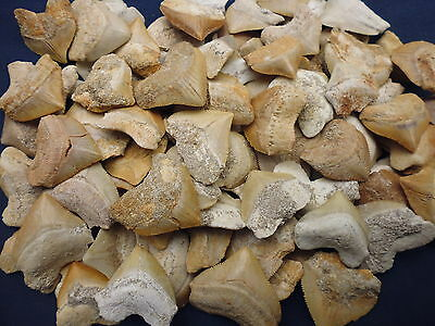 10 fossil Squalicorax shark teeth from Morocco Megalodon grandfather era