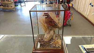Vintage South Texas Quail Taxidermy in Glass Showcase with Wooden Bottom 81/2x12
