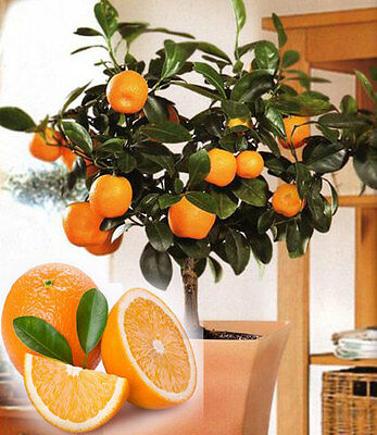 Seeds Orange Bonsai Tree Fruit Edible And Organic Very Big Delicious Potted 20Pc