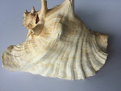 Vintage Large Queen Conch Sea Shell Pink Natural Beach Approx 7x10 Inch. BLOW !