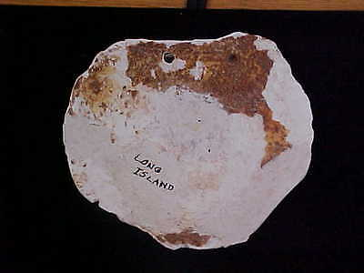 Awesome Large Indian Shell Gorget Long Island New York Arrowheads Artifacts