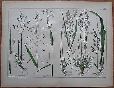 ca. 1890 Triandria - alter Druck antique print Botanik Pflanzen flowers Litho