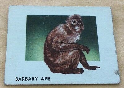 1951 Topps Animals Of The World #116 Barbary Ape