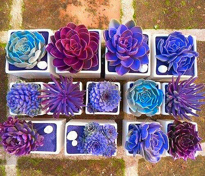 Succulent Seeds Soft Seeds Mix Color Flowering Succulents Cactus Combsh 100Pc