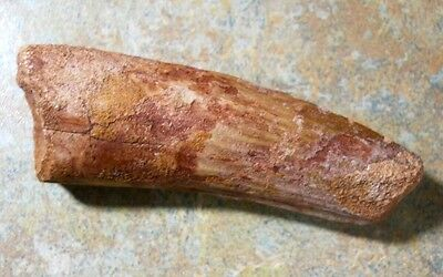 2.5-Inch-Long Dinosaur Tooth-Massive Spinosaur/tooth All Original Intact