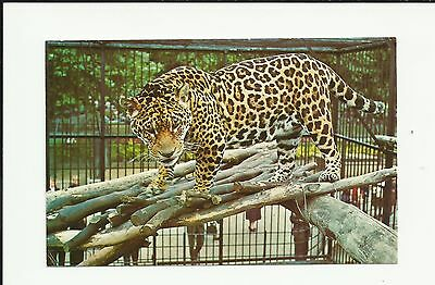Rare Vintage Postcard. Jaguar at London Zoo. Zoological Society of London