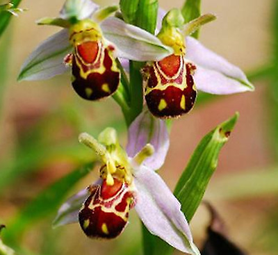 Bee Orchid Seeds Perennial Flowering Plants Potted Seeds - 50 pcs
