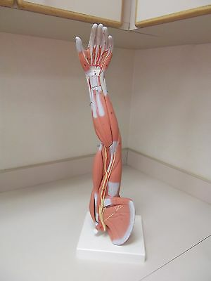 3 B Anatomical  Model of Arm