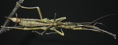 "Brasidas. sp ""Rapu Rapu"" Stick Insect 20 eggs"