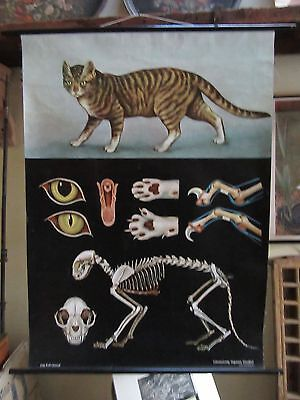Vintage 1964 Jung, Koch & Quintell Classroom Chart On The Anatomy Of A Cat