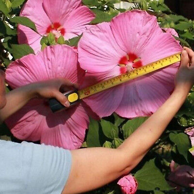100Pcs Giant Hibiscus Exotic Coral Flowers Seeds Home Garden Bonsai Mixed Colors