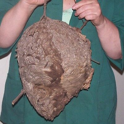 "Huge Real HORNET NEST PAPER HIVE 9"" x 12"""