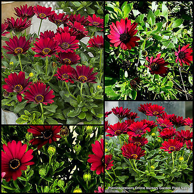 8 Dragons Breath Daisy Hardy Groundcover Flowering Shrubs Plants African Flowers