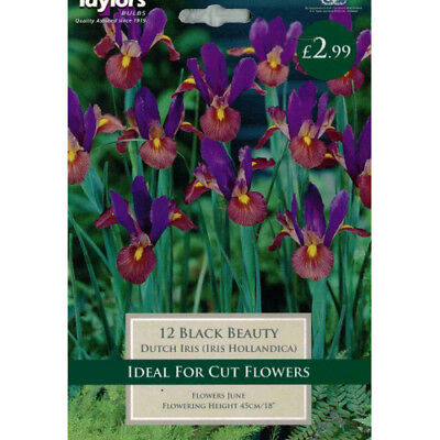 Iris Black Beauty bulbs for spring flowering by taylors bulbs