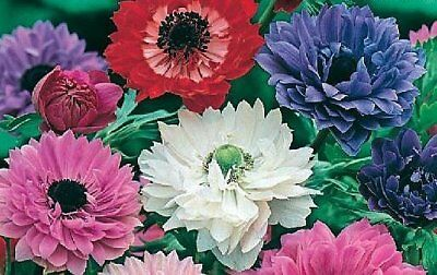 Anemone St. Brigid Mixed by Taylors Bulbs