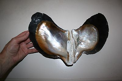 GIANT Wing Oyster seashell