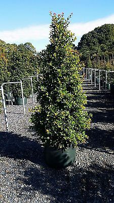 75L Syzygium 'Select' or 'Resilience' & other varieties- Lilly Pilly hedging