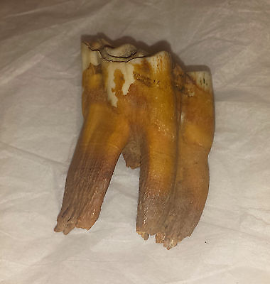 Ancient Bison or Buffalo Tooth
