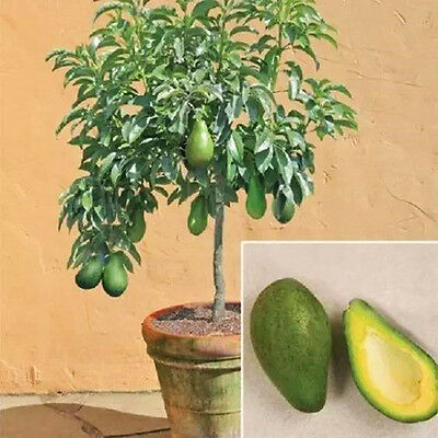 Avocado Seeds Green Fruit Very Delicious Avocado Seeds Rare New Pear Fruit Seed