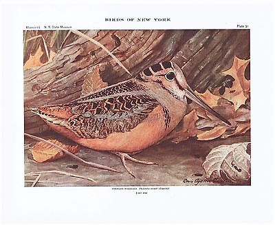 1910 Color Lithograph American Woodcock