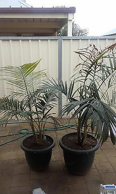 Potted Bangalow Palm Trees