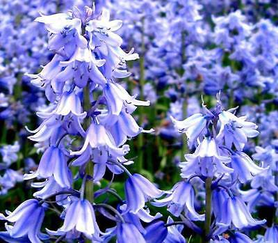 Rare Chance Giant already sprouted Bluebell bulbs Ground Covers to Prevent weeds