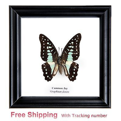 Collectible Real rare 1 Butterfly Taxidermy Insect Display in Wood Framed Gift