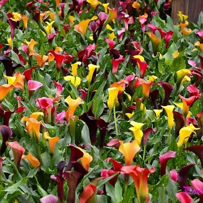 Bulk Seed 100 Calla Lily Seeds Rare Colorful For Home Garden Flower Seeds S070