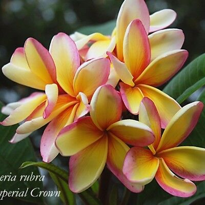 new rare Frangipani Plumeria Imperial Crown sweetly scented house plant,