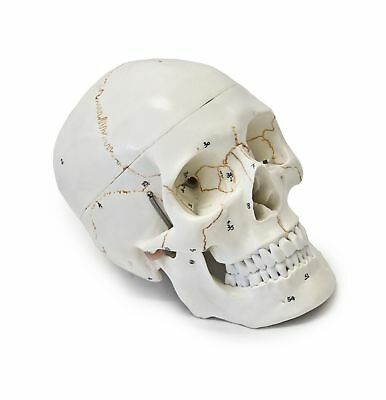 Wellden Medical Anatomical Human Skull Model 3-part Numbered Life Size