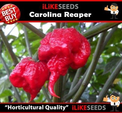 Hot Pepper Chilli Seeds Carolina Reaper X 5 Seeds Hottest in the World