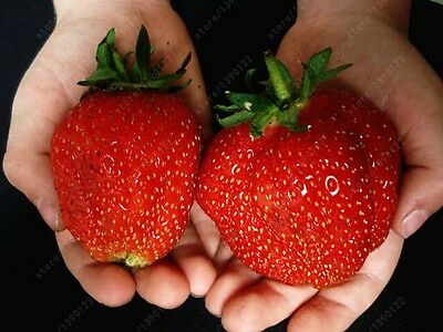 300pcs/bag strawberry seeds giant strawberry Organic fruit seeds vegetables Non-