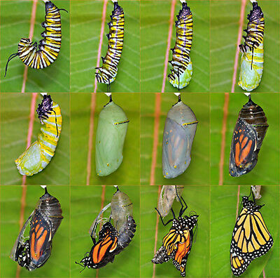 Rase Live Butterfly   Insect Lore Live Monarch Chrysalis