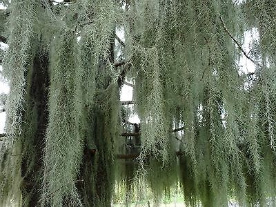 air plant - 30 g - old mans beard , spanish hanging moss , tillandsia , airplant
