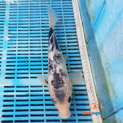 Koi Carp For Sale Picclick Uk