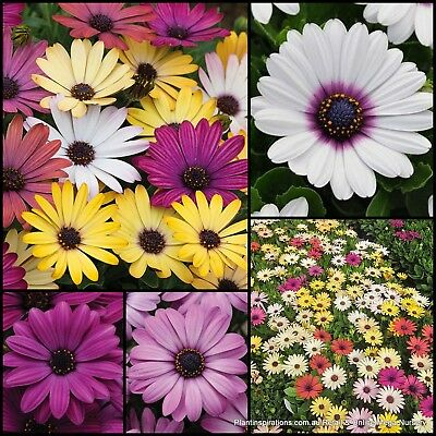 10 Akila Grand Canyon Mix Daisy Daisies Cottage Garden Tuf Plants African Flower